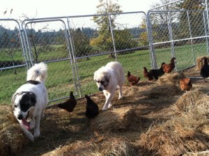 Chicken-Dog-3_Web