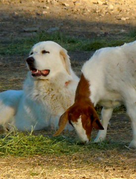 Goat-Dog-1_Web