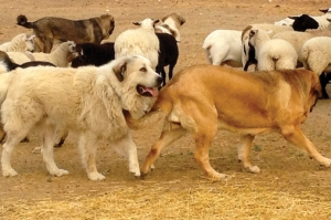 Dogs-with-Sheep-1_Web2